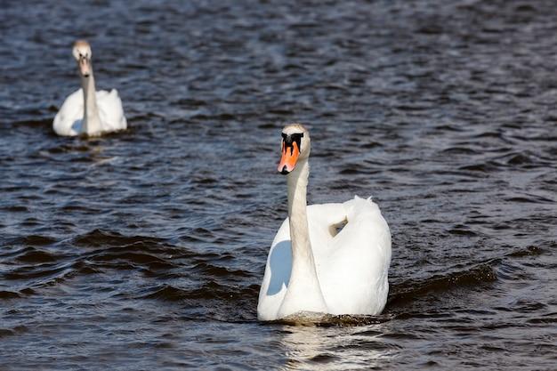 Zwanen die op het meer drijven