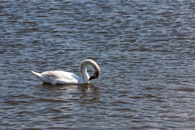 Zwanen drijvend op het meer, prachtige watervogels zwanen in het water, wilde vogels zwemmende zwanen in het water van het meer of de rivier