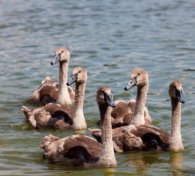 Zwanen groep op het meer