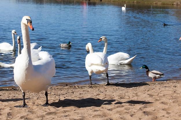 Zwanen in de lente, een mooie watervogelgroep vogelszwanen op een meer of een rivier, een groep zwanen die aan land zijn gekomen