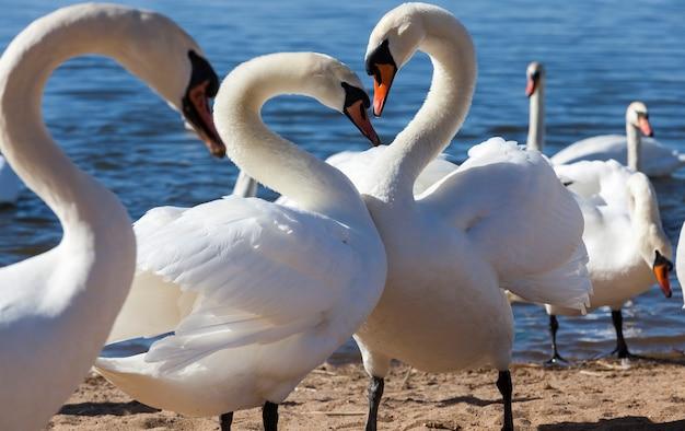 Zwanen in het voorjaar bij het meer