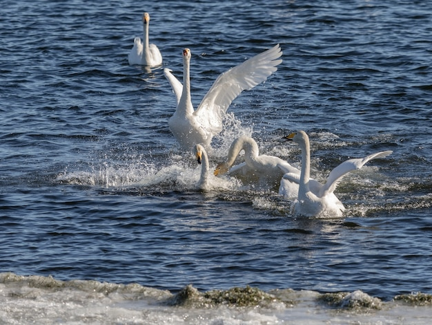 Zwanenconflict, whooper-zwanen, cygnus-cygnus, vechtend in het water bij lista, noorwegen
