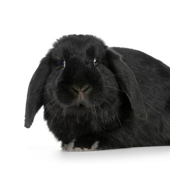 Zwart close-up op geïsoleerd konijn