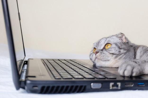 Zwart en grijs gestreepte scottish fold kat met gele ogen kijkt naar een laptop monitor liggend op een bank.