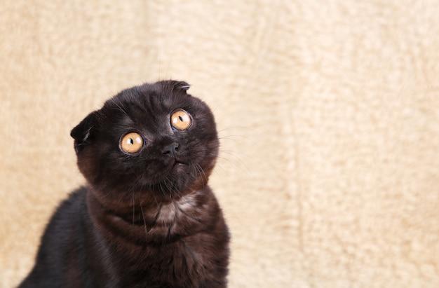Zwart katjes brits korthaar met gele ogen