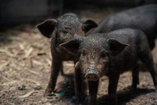 Zwart knorretje. varkens fokken in een landelijk land.