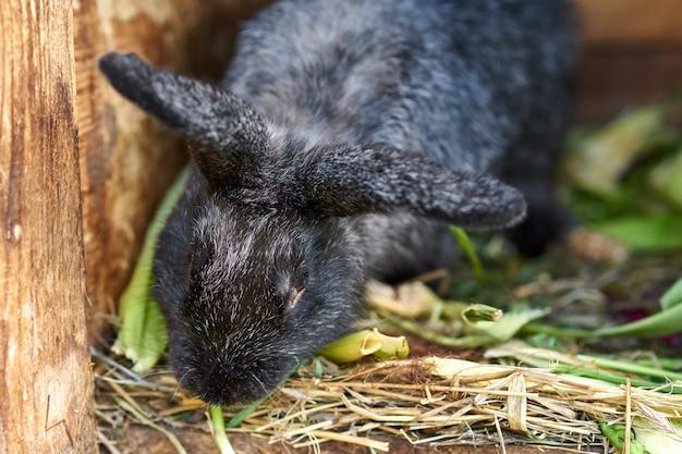 Zwart konijn dat gras in kooi eet, close-up
