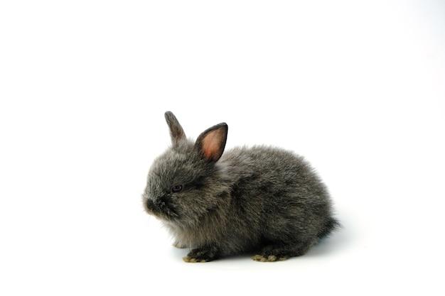 Zwart konijn dat op wit wordt geïsoleerd