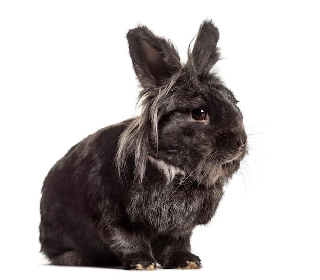 Zwart konijn, geïsoleerd op wit