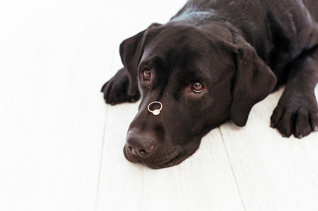 Zwart labrador met een wiedring aan zijn snuit. bruiloft concept