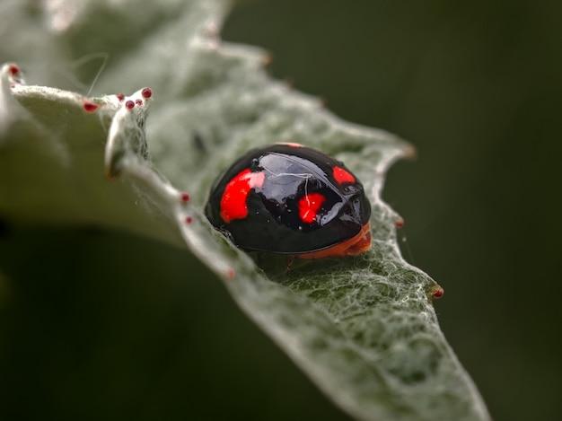 Zwart lieveheersbeestje op een blad