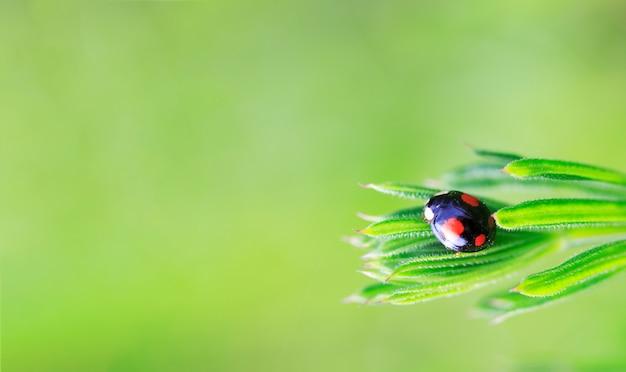 Zwart met rode lieveheersbeestje vlekken op gras in de lente of zomer ochtend op groene achtergrond