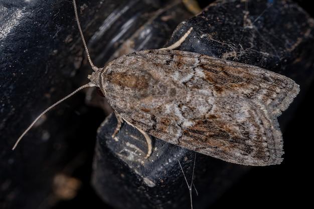 Zwart-olijf caterpillar moth van de soort garella nilotica