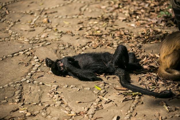 Zwart onder ogen gezien slingeraap in yungas, coroico, bolivia