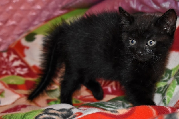 Zwart pluizig katje in huis