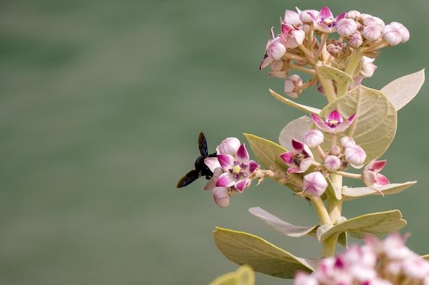 Zwart vliegend insect zittend op een roze kroontjeskruid bloem