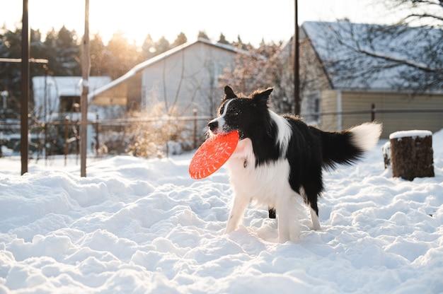 Zwart-wit bordercollie hond spelen met hond frisbee in de sneeuw