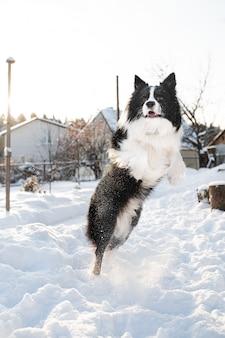 Zwart-wit bordercollie hond springen in de sneeuw op het platteland