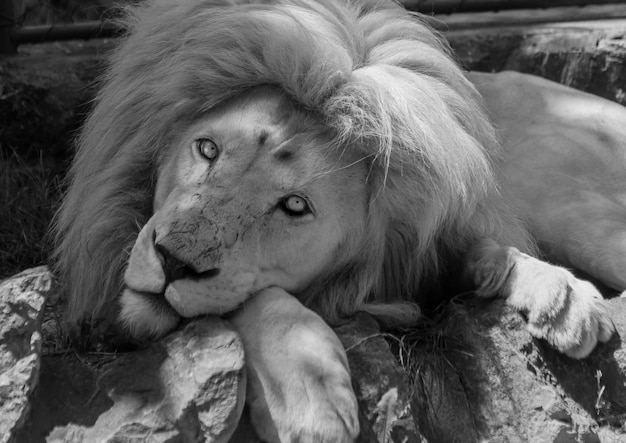 Zwart-wit foto van een schattige oost-afrikaanse leeuw in de natuur
