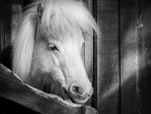 Zwart-wit hoofdschot van witte pony poserend voor schuur genomen in nieuw-zeeland