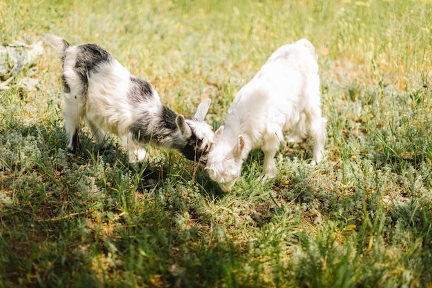 Zwart-wit kleine pasgeboren baby geit bloemen eten op de boerderij van het platteland