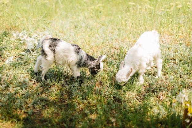 Zwart-wit kleine pasgeboren baby geit gras eten op de boerderij van het platteland