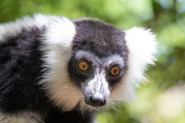 Zwart-wit vari lemur ziet er heel nieuwsgierig uit.