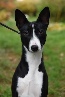 Zwart-witte basenji-hond in aard