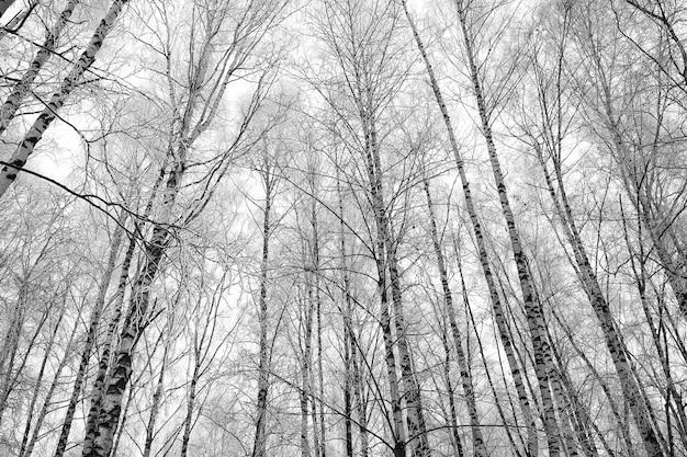 Zwart-witte berkenbomen