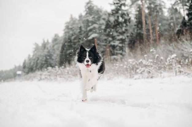 Zwart-witte border collie-hond in het besneeuwde bos