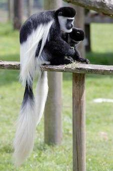 Zwart-witte colobus (colubus)