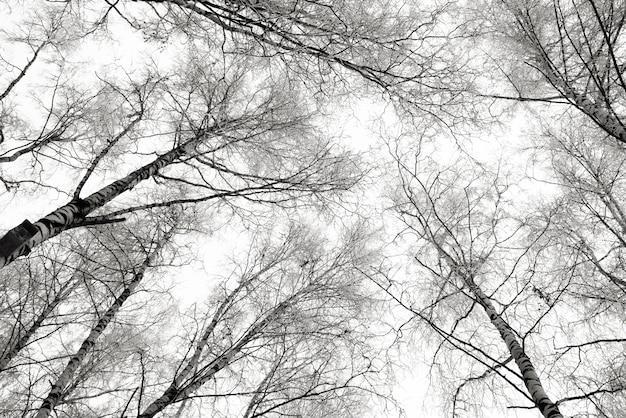 Zwart-witte de berkbomen van de winter