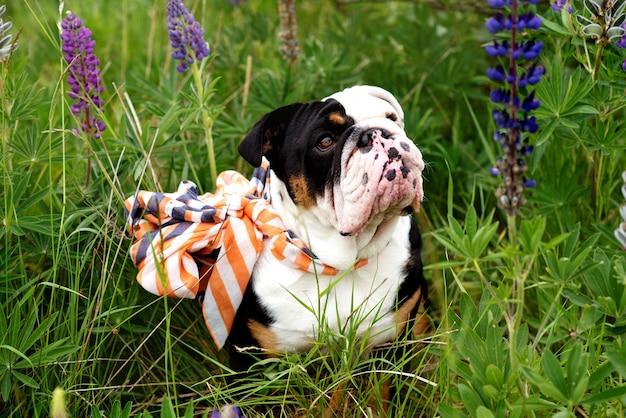 Zwart-witte engelse bulldog die een sjaal draagt voor een wandeling in het gras