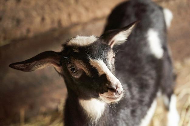 Zwart-witte geit in schuur. binnenlandse dwerggeit in de boerderij.