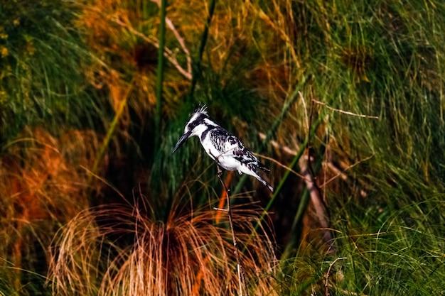 Zwart-witte ijsvogel in hinderlaag. naivasha, kenia
