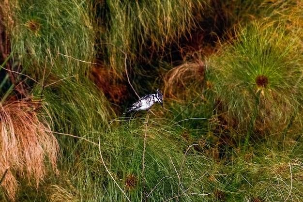 Zwart-witte ijsvogel op tak. naivasha, kenia