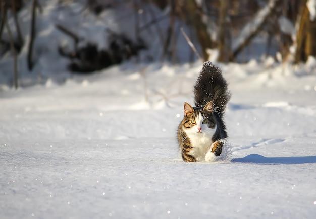Zwart-witte jonge actieve kat die in sneeuw loopt.