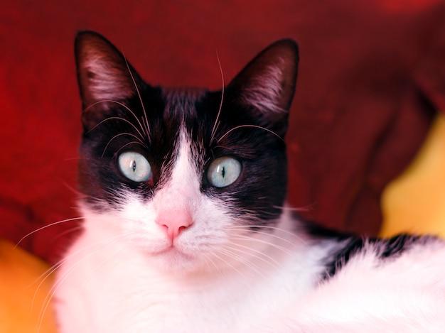 Zwart-witte kat op een gele achtergrond die de camera onderzoekt