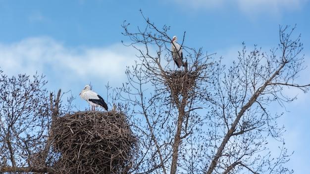 Zwart-witte ooievaars nestelen in de bomen in de natuur op een bewolkte dag