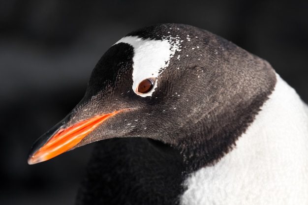 Zwart-witte pinguïn