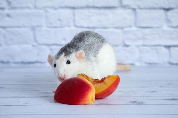 Zwart-witte rat eet sappige, zoete en smakelijke perzik. detailopname