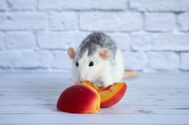Zwart-witte rat eet sappige, zoete en smakelijke perzik.