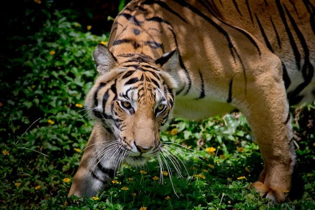 Zwart-witte tijger die zijn prooi bekijkt en klaar om het te vangen.