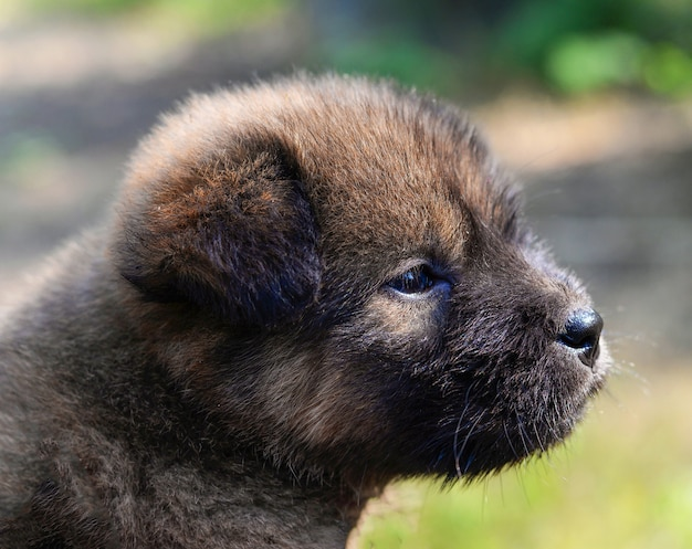 Zwartbruine leuke puppyhond azië azië in tuin in openlucht / droevige de eenzame hond