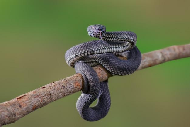 Zwarte adder trimeresurus purpureomaculatus manggrove pit viper giftige slang