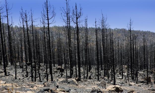 Zwarte as van kanariepijn na bosbrand in teide