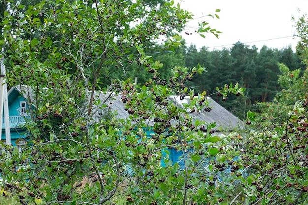 Zwarte ashberry zwarte lijsterbes zwarte appelbes aronia melanocarpa - takken van de boom in de tuin op de achtergrond is een dorpshuis