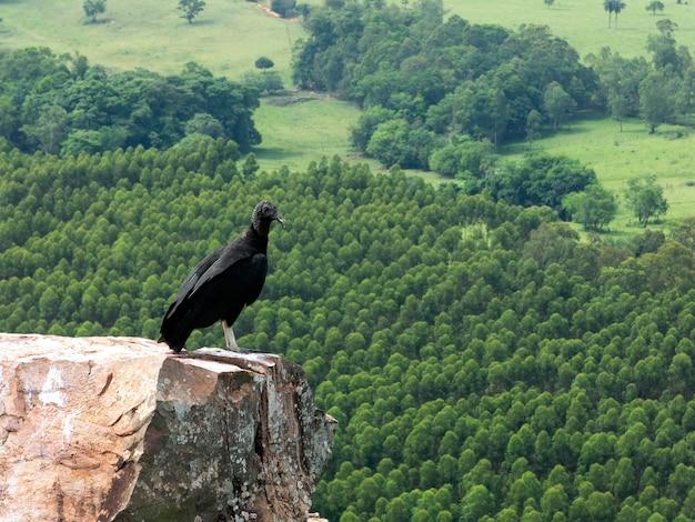 Zwarte atratus van giercoragyps op rots