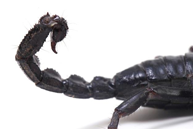 Zwarte aziatische bosschorpioen (heterometrus) geïsoleerd