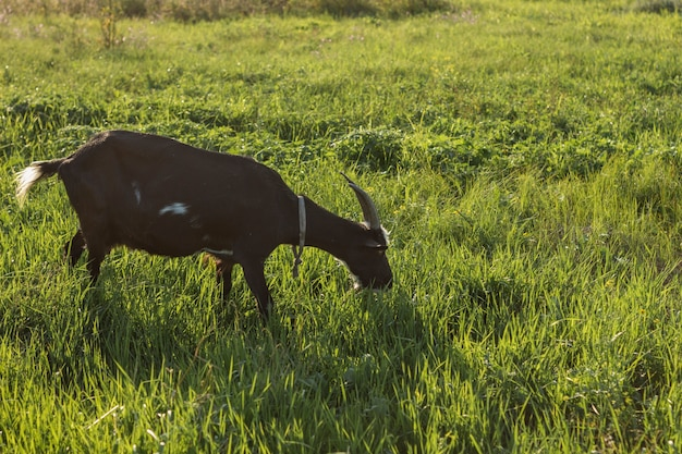 Zwarte binnenlandse geit die gras eet